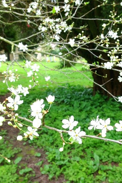 Silent Sunday: week 11, 2014, shows first blossom in our churchyard